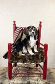 picture of puppy beagle  - A seven week old beagle puppy sitting in a red chair with patriotic blanket vertical with copy space - JPG