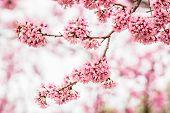 pic of sakura  - Beautiful pink cherry blossom or sakura flower branch on tree - JPG