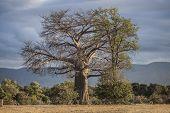 foto of baobab  - A large baobab tree in Mana Pools National Park - JPG