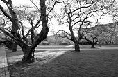 stock photo of black-cherry  - Sunrise in Quad at the very beginning of cherry blooming season in black and white   - JPG