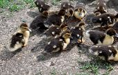 picture of duck  - A birds - JPG