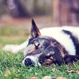 image of laika  - Dog laika sleeping in the green grass  - JPG