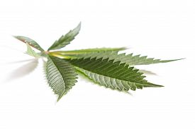 picture of marijuana leaf  - close up with selective focus of a marijuana leaf on a white background - JPG