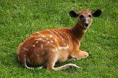 pic of rainforest animal  - Forest sitatunga  - JPG