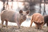 picture of pig-breeding  - Young mangalitsa furry pig pasturing on the field at sunset - JPG
