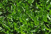 stock photo of arrowhead  - Broadleaf arrowhead plant  - JPG