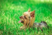picture of yorkshire terrier  - side view of a cute yorkshire terrier puppy dog panting in the grass - JPG