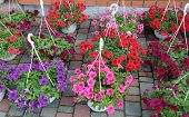 picture of petunia  - Colorful garden Petunia plants in flower pots - JPG
