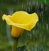 picture of calla lily  - Golden Calla Lily Zantedeschia elliottiana in stormy rain background