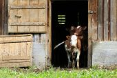 stock photo of calves  - two young calves looking out of a barn door - JPG