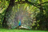 picture of peahen  - Portrait of beautiful peacock with feathers out - JPG
