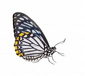 picture of mime  - Isolated male common mime butterfly with clipping path - JPG
