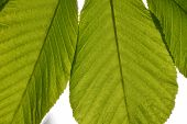 picture of chestnut horse  - Translucent horse chestnut textured green leaves close up in back lighting isolated on white sky background with sun shine flare - JPG