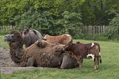 foto of foal  - Camel and foal with two cows standing by - JPG