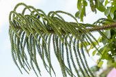 picture of conifers  - Araucaria heterophylla or star pine triangle tree or living Christmas tree is a distinctive conifer - JPG