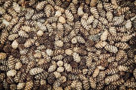 picture of cone  - Background of dried natural pine cones - JPG