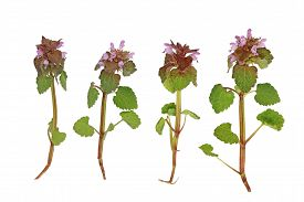 pic of dead plant  - Pink Dead Nettle wild flower plant isolated on white background - JPG