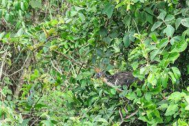 pic of pampa  - Hoatzin Bird in Madidi Park - JPG