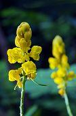 Постер, плакат: Yellow Flower Of Ringworm Bush Or Candle Bush Flower Or Candelabra Bush