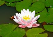 picture of water lilies  - Water lily - JPG