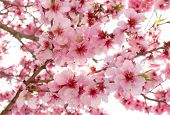 stock photo of apple blossom  - Spring apple blossoms - JPG