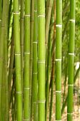 foto of bamboo forest  - Bamboo - JPG