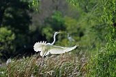image of bayou  - Beautiful light on Great White Egret as it jumps into flight from nesting rookery in Louisiana Bayou on Avery Island in New Iberia.