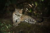 Постер, плакат: Jaguar Lying Under Trees On Shady Bank