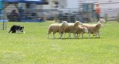 stock photo of sheep-dog  - working dog  - JPG
