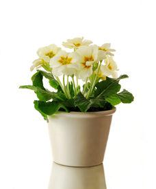 picture of flower pot  - Primrose in pot - JPG