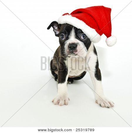 Boston Terrier Wearing A Santa