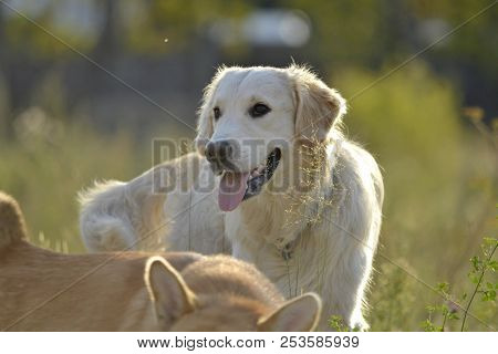 poster of Dogs Play With Each Other. Labrador Retriever. Merry Fuss Puppies. Aggressive Dog. Training Of Dogs.