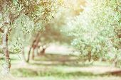 Olive trees. Olive trees garden. Mediterranean olive field ready for harvest. Italian olives grove  poster