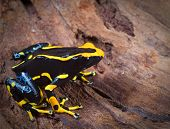 stock photo of orange poison frog  - orange and black poison dart frog - JPG