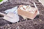 Organic Vegetable Garden In Late Summer. Autumn Planting Garlic In Organic Urban Garden poster