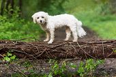 Small White Dog On Fallen Tree In Woods poster