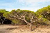 pic of windswept  - Windswept Mediterranean pine tree forest the forces of nature - JPG