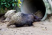 The Malayan Porcupine (hystrix Brachyura) Is A Species Of Rodent In The Family Hystricidae. poster