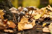 A Small Group Of Mushrooms (toadstools) Made Their Way Through The Fallen Leaves In The Forest. poster