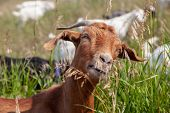 Targeted Grazing Using Goats For Control Weeds poster