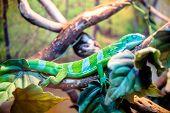 Fiji Banded Iguana Sits On A Tree Branch poster