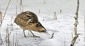 Bittern on ice.