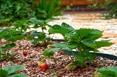 Grows And Ripens Strawberries. Strawberries Ripening In A Garden. Strawberry Branch With Ripening An poster