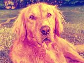 Young Golden Retriever Is Relaxing On Grass  In The Park.  Sweet Retriever Sitting Outside And Looki poster