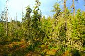Wild Green Forest With High Spruces In Taiga. Dense Forest. Coniferous Wood poster
