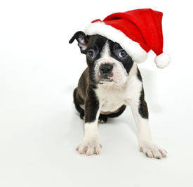 picture of santa claus hat  - Christmas Boston Terrier on a white background - JPG