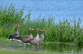 stock photo of mother goose  - A greylag goose mother with her 3 chicks - JPG