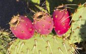 stock photo of nopal  - Closeup of Paddle cactus with red fruits in Arizona desert - JPG