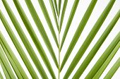 stock photo of splayed  - close up of splayed palm leaves on a white background - JPG
