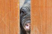picture of razorback  - A close up portrait of black pig  - JPG